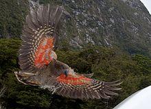 220px-Kea_about_to_land,_displaying_orange_underside_of_wing